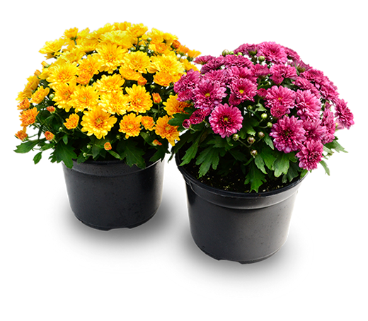 mums for sale Huntsville AL